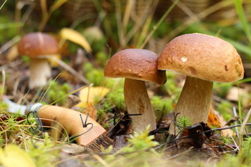 Белые грибы растут в лесу.