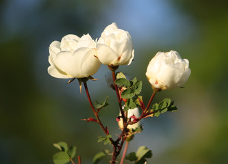 Flowers of briar white rose
