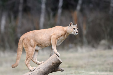 Puma stands on a tree