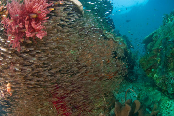Fototapete - General Reef Scene and schooling fish, Raja Ampat, Indonesia