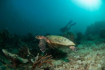 Sea turtle swimming over a reef in , Raja Ampat, Indonesia