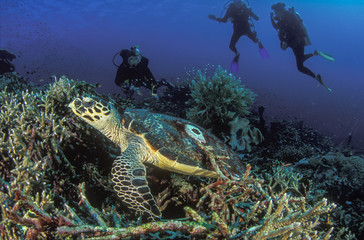 Fotoväggar - A hawksbill turtle gliding peacefully past a group of divers