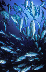 Fototapete - A school of big eye trevally swimming over head with the surface visable