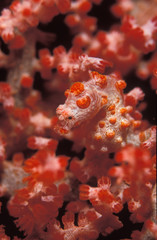A well hidden pygmy sea horse, camouflaged against its coral home.