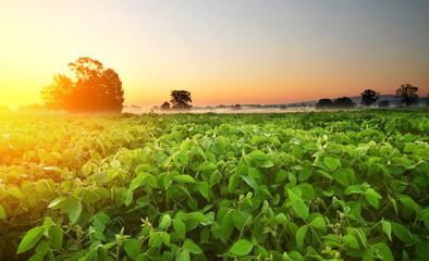 Soybean field in early morning