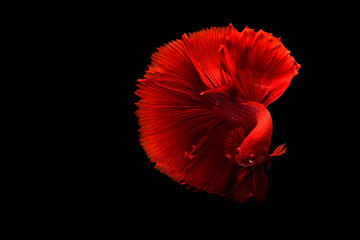 red Siamese betta fish