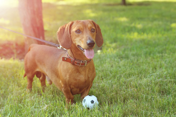 Beautiful dachshund dog in the garden, outdoor