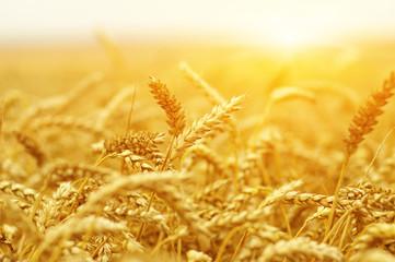 Wall Mural -  Wheat field on sun