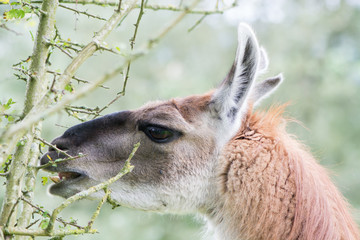Llama delicately eating leaf from thorn bush. Domesticated camelid delicatly grazing leaves from hawthorn tree, avoiding thorns