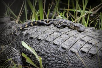 Baby Alligator on Mother's Back