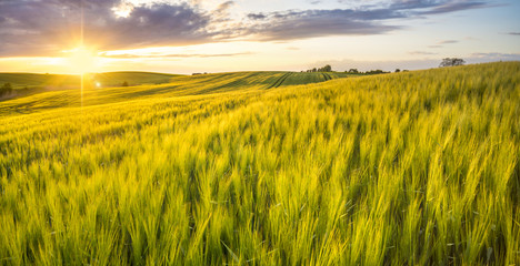 Photo sur Plexiglas Sauvage sunset over a field of young wheat