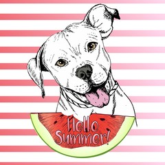 Vector hand drawn illustration of english pitbull dog eating the watermelon slice. Hello summer.
