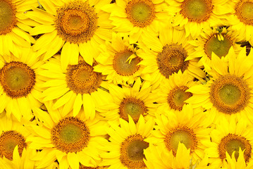 Sunflowers, oil and seeds