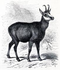 Chamois (Rupicapra rupicapra) (from Meyers Lexikon, 1895, 7/288)