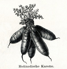 Dutch carrots (from Meyers Lexikon, 1895, 7/288/289)