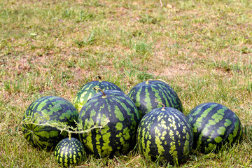 Fresh watermelon on green grass background. Place for text. Agriculture.