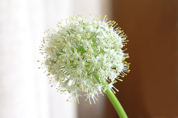 White blossoming garlic flower