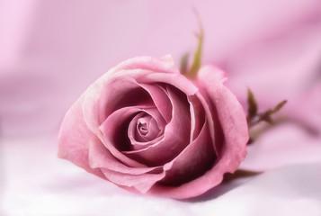 Rosa rosa con fondo rosa