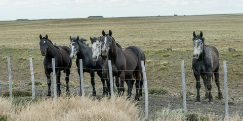 Five horses standing next to fence in field, Santa Cruz Province