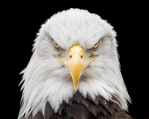 Wall Murals Eagle Bald Eagle X