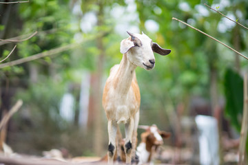 Smiling young goat/kid