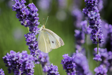 Large White (Pieris brassicae) on the lavender in summer