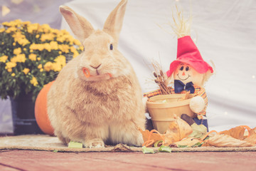 Adorable Rufus colored rabbit stands between fall decorations with simple background and room for text in warm retro look