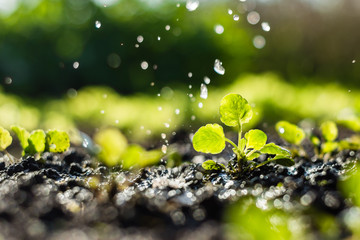 Fototapeta  Plant sprouts in the field and farmer  is watering it;  pansy seedlings in the farmer's garden , agriculture, plant and life concept (soft focus, narrow depth of field) obraz