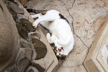 Thai cat in sleeping action at temple Thailand.