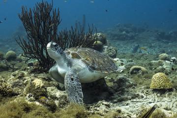 Unterwasser - Riff - Schildkröte - Suppenschildkröte - Koralle - Schwamm - Tauchen - Curacao - Karibik