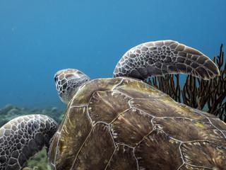 Unterwasser - Riff - Schildkröte - Suppenschildkröte - Schwamm  - Tauchen - Curacao - Karibik