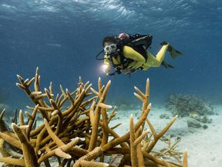 Unterwasser - Riff - Hirschgeweihkoralle - Koralle - Taucher - Tauchen - Curacao - Karibik