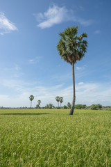 Sugar palm in rice field