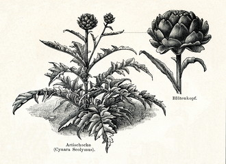Artichoke (from Meyers Lexikon, 1895, 7/288/289)