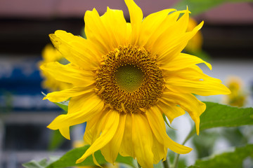 Sunflower in the garden. Yellow flower, countryside bright color, Ukraine