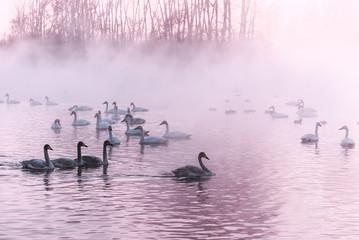 swan lake mist winter sunset