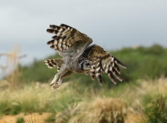 Close up of a Verreaux's Eagle Owl in flight