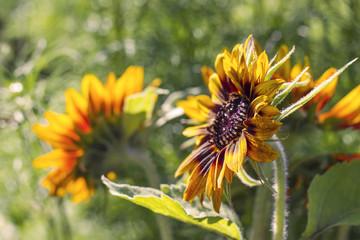 sunflowers in the garden (Helianthus)