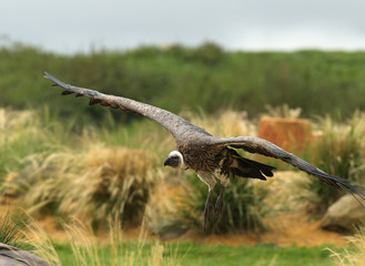 Close up of a Griffon Vulture in flight