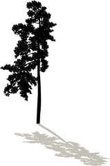 black pine large single silhouette with shadow