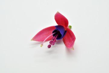 Real fuchsia single flower isolated on white background