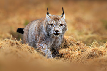 Foto op Plexiglas Lynx Wildlife scene with cat from Europe. Lynx walking in the forest path. Wild cat Lynx in the nature forest habitat. Eurasian Lynx in the forest, hidden in the grass. Cute lynx in the autumn forest.