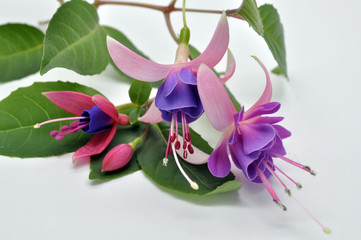 Real colorful fuchsia flower with green leafs. Isolated on the w