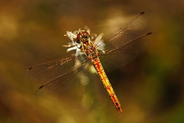 Common Darter, Sympetrum striolatum. Macro picture of dragonfly on the leave. Dragonfly in the nature. Dragonfly in the nature habitat.