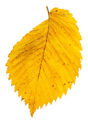 yellow autumn leaf of elm tree isolated on white