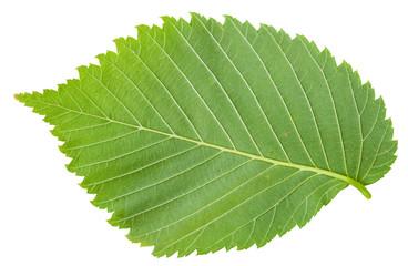 back side of fresh leaf of Elm tree isolated