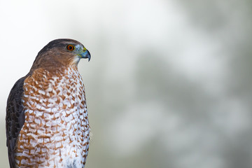 Cooper's Hawk - Accipiter cooperii, side profile portrait.  Blurred tree bokeh in background.