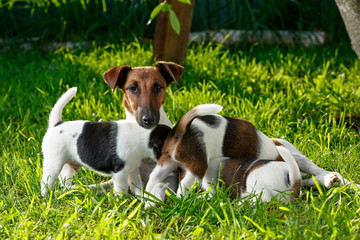 A purebred smooth-haired fox terrier, feeds her hungry puppies.