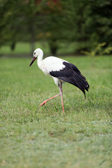 single stork walking