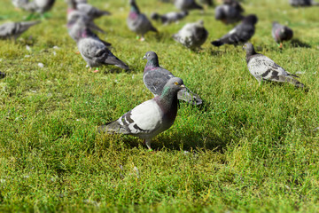 Gołębie na łące